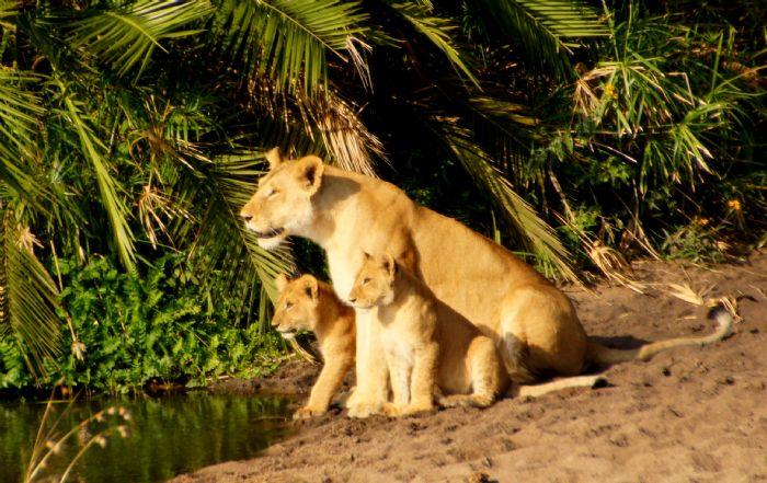 Leones en Tanzania - Foto Daniel Arnesto